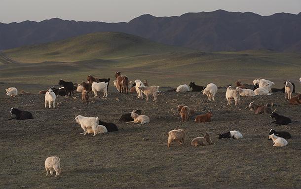 Cachemire Mongolie